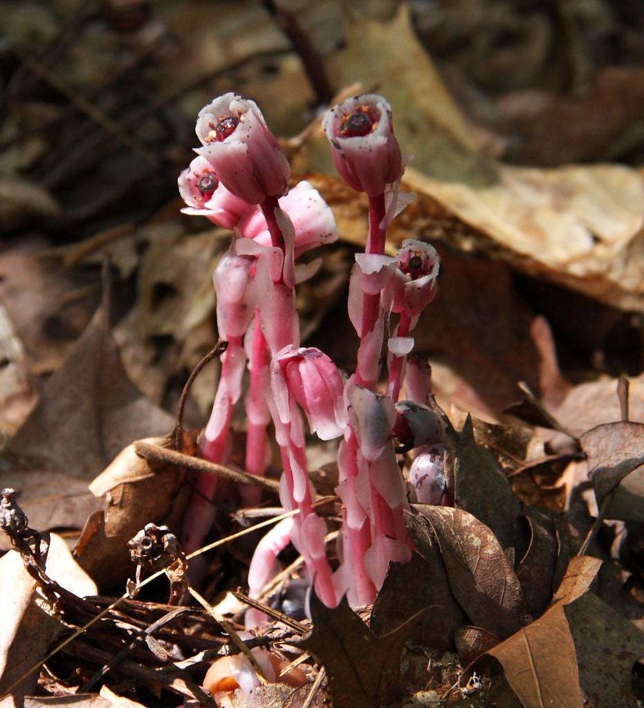 Red_indian_pipes