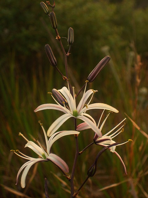 Learn how the Wavy Soap Plant has helped tribes survive