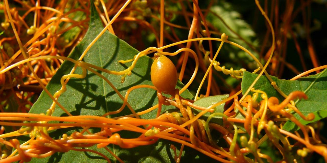 This plant is used as a fusion to cure black widow bites